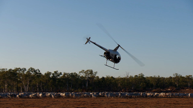 Helicopter Cattle Mustering | Stirling Helicopters